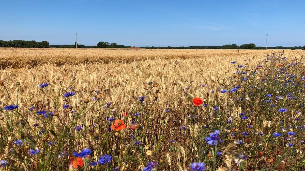 Getreidefeld auf Rügen