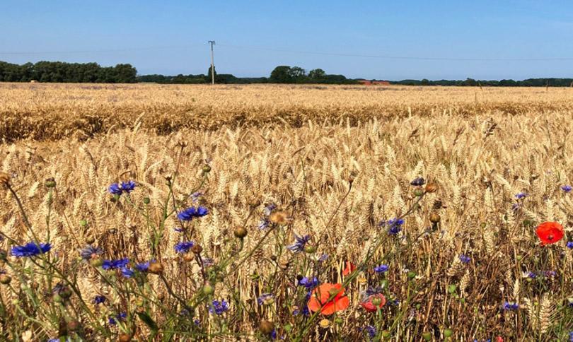Getreidefeld auf Rügen: Bald ist es soweit und die Ernte wird eingebracht.